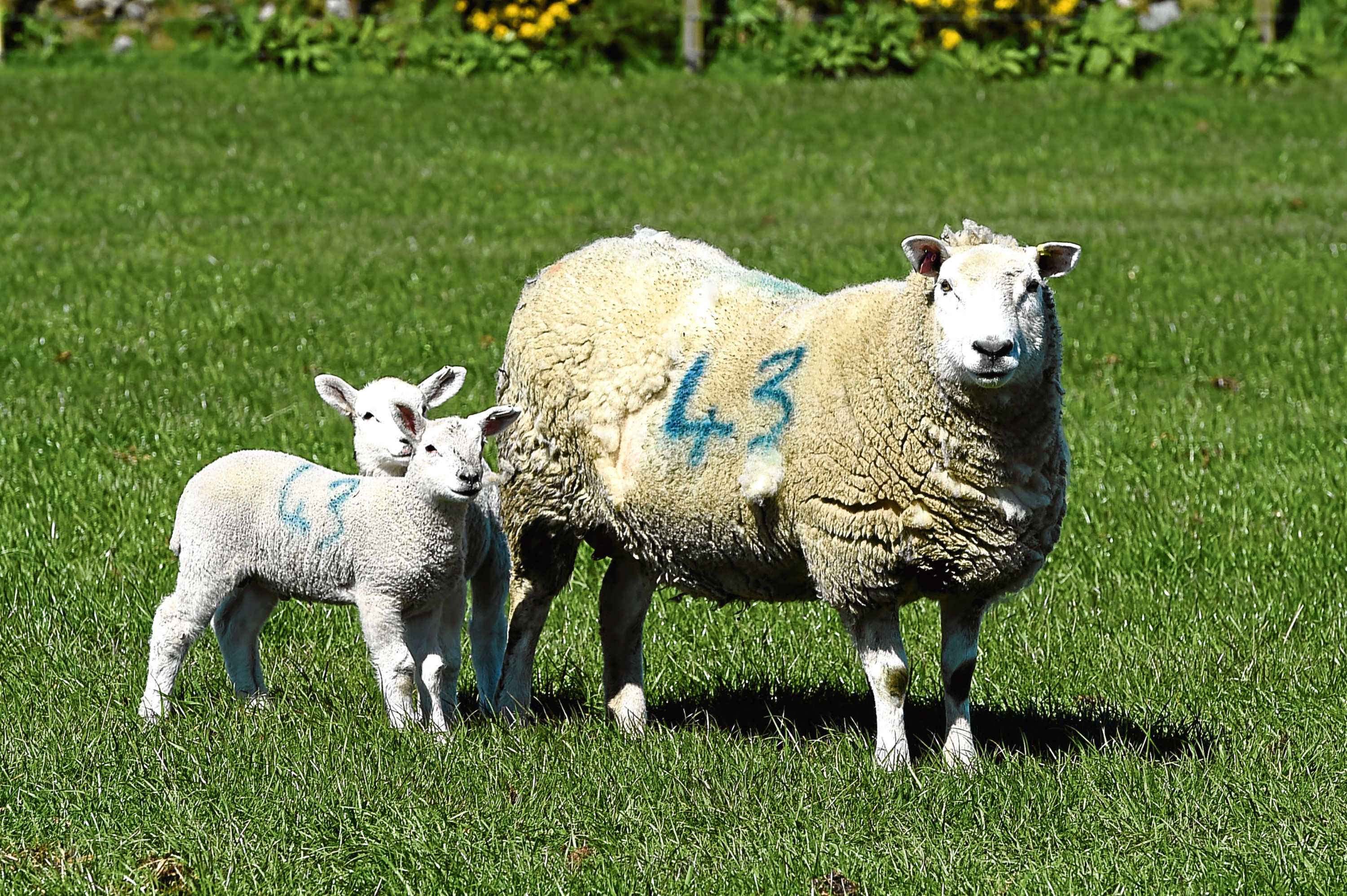 The study looked at the genetics of sheep