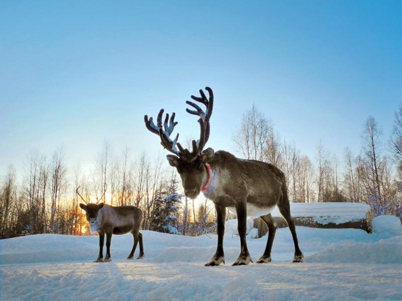 Lapland - Reindeer Sleigh