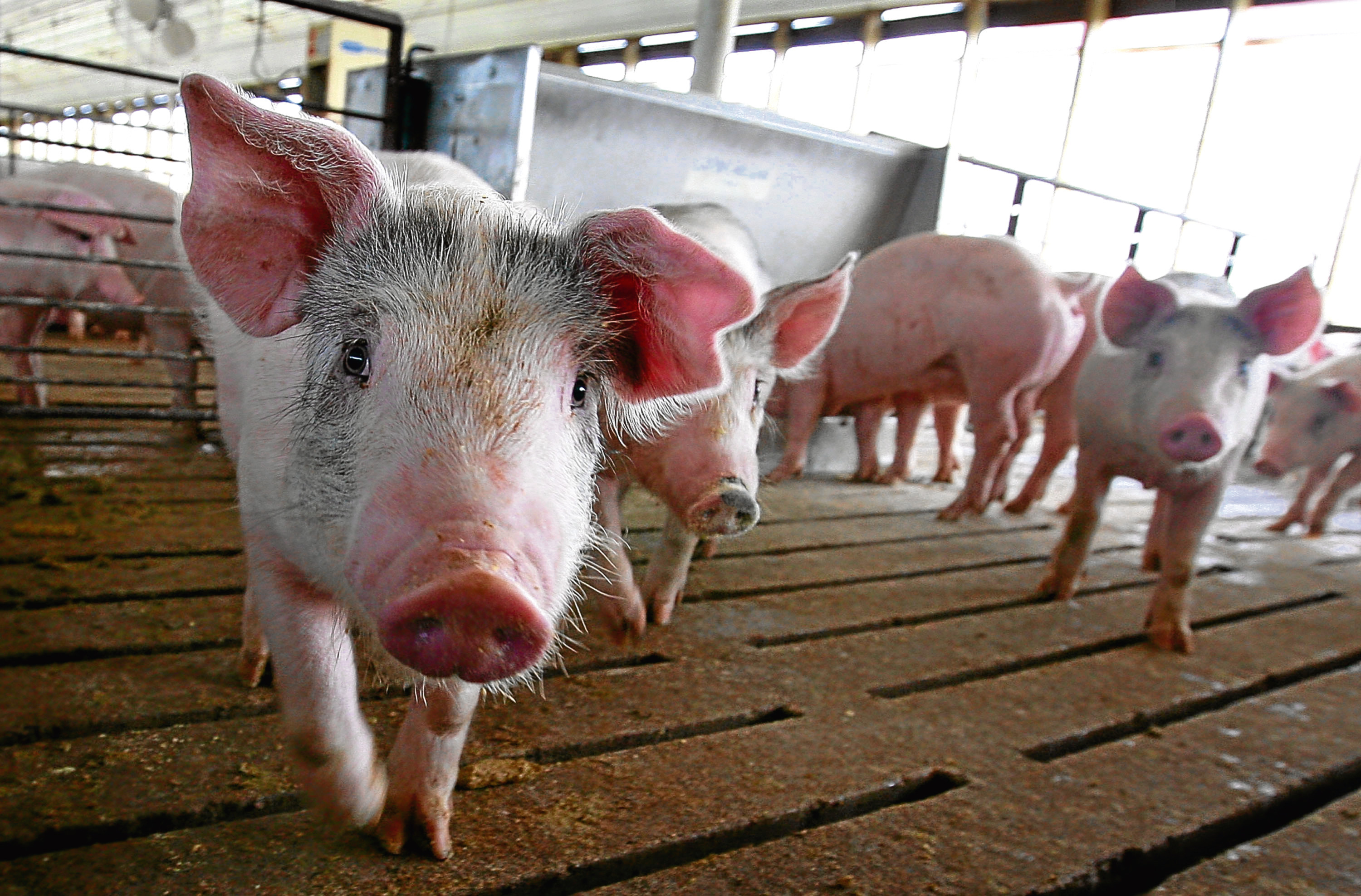 The survey was carried out by the National Pig Association