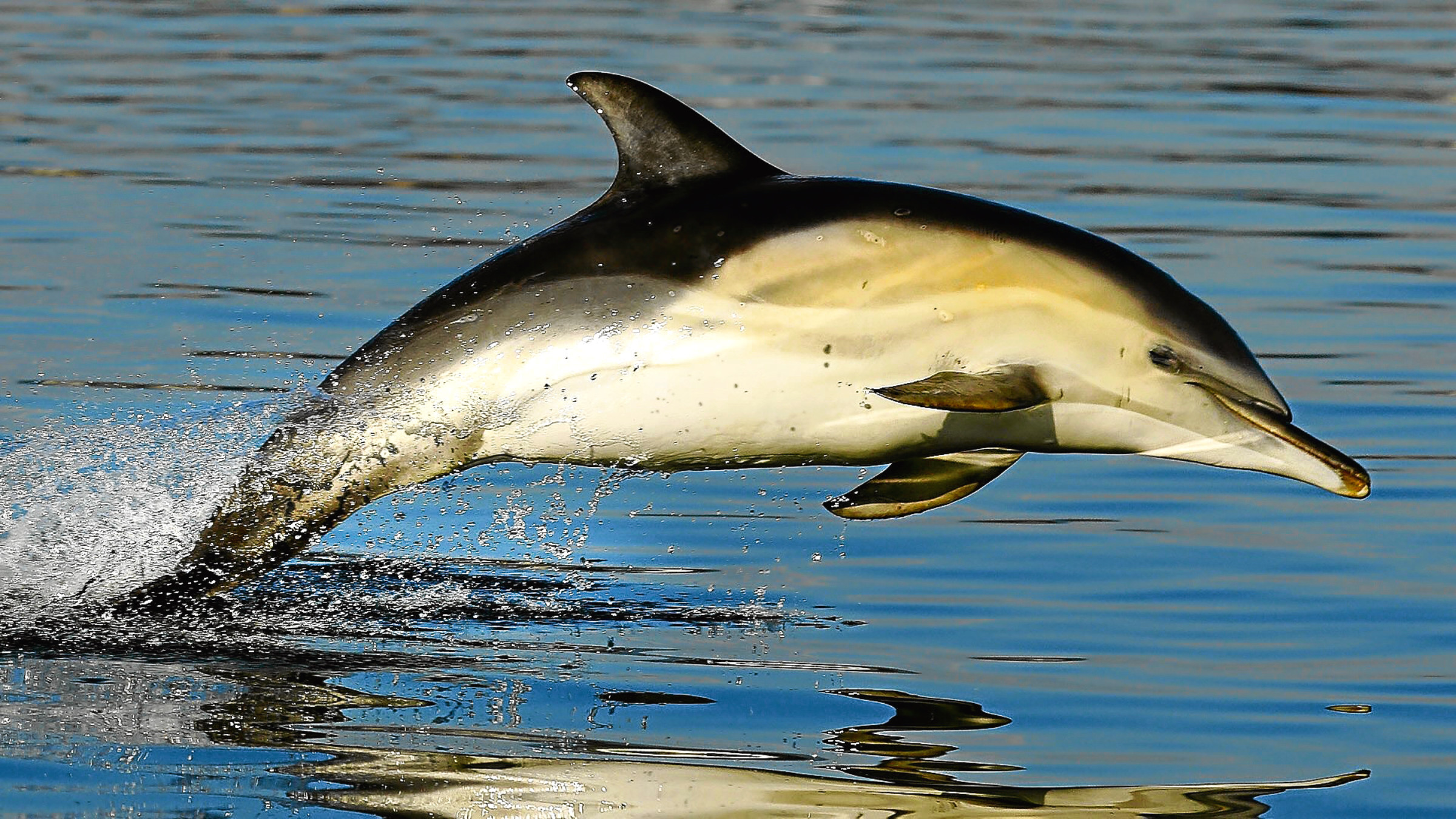 common dolphin leaping - WDC Charlie Phillips_RL