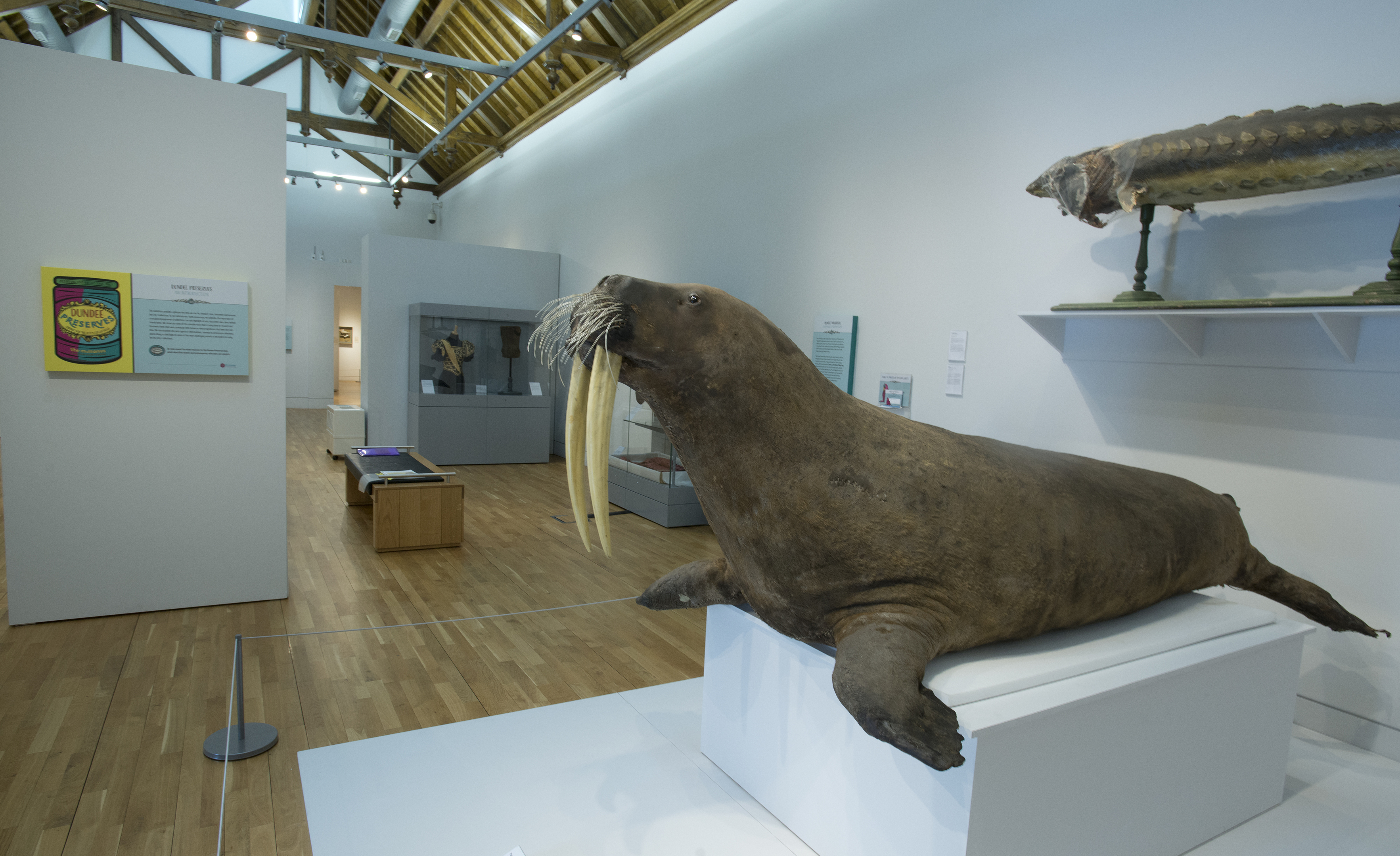 Giant Walrus named Marmalade after a public vote