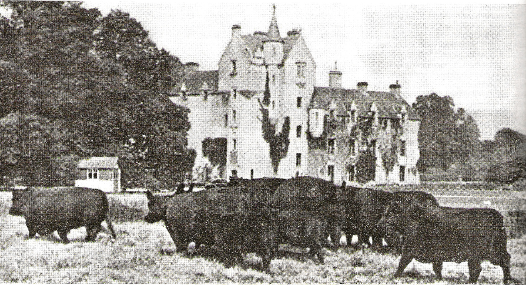 An old picture of Aberdeen-Angus cattle in front of Ballindalloch Castle.