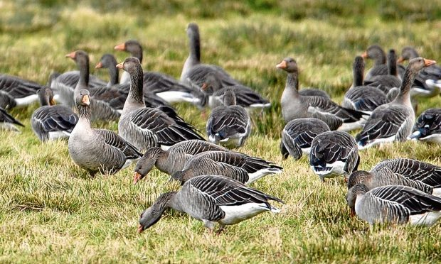Greylag geese