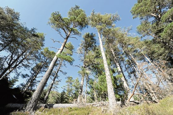 Old growth Caledonian Scots Pine near Evanton in Easter Ross.