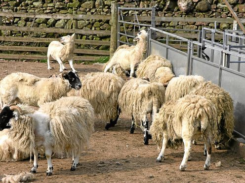 Sheep suffering from sheep scab.