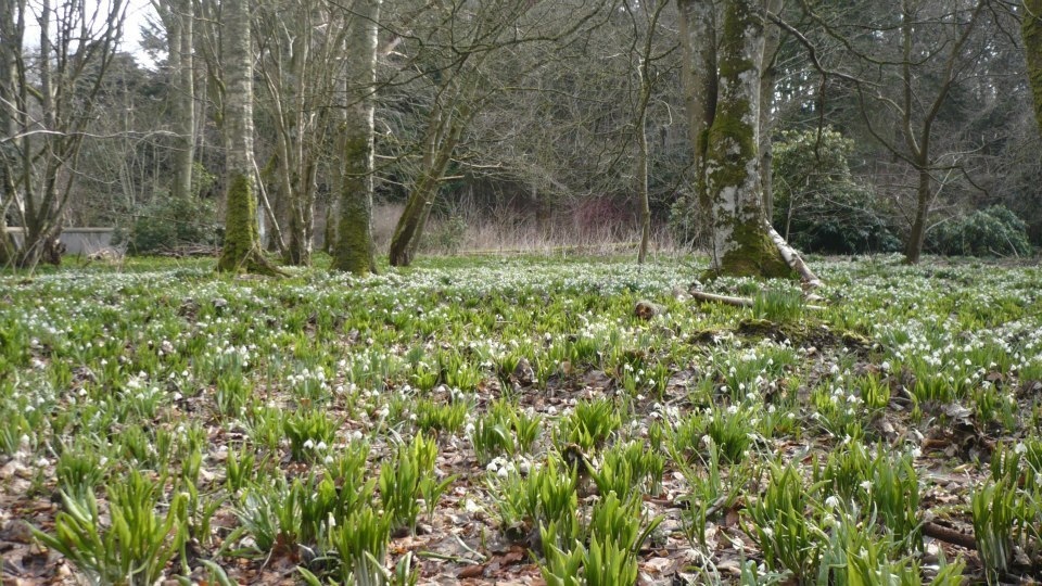 Fyvie Castle's woodlands are part of this years' Snowdrop Festival. Picture : Fyvie Castle