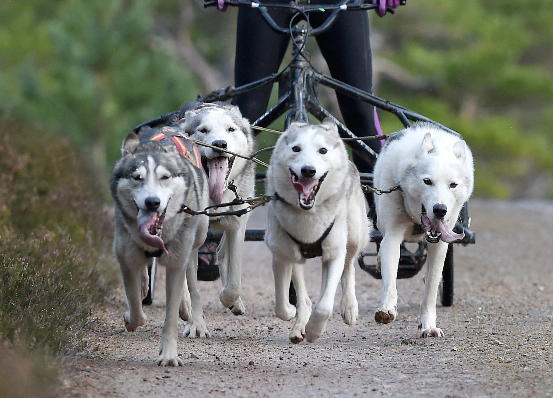 The  Aviemore Sled Dog Rally took place this weekend in Glenmore Forest in Strathspey. Pictures by Sandy McCook