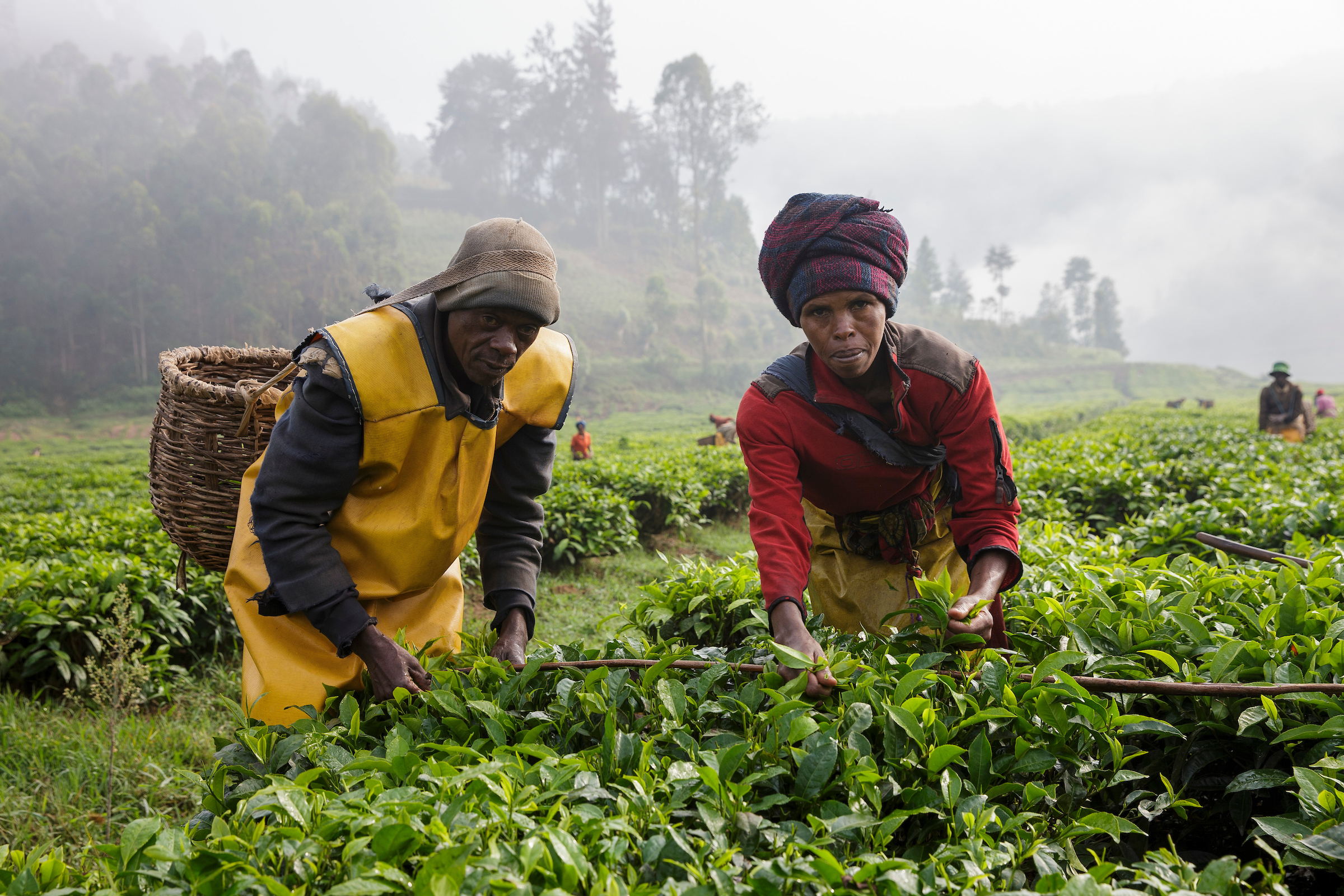 5,000 smallholder farmers from the Mulindi tea factory and field unit in Rwanda recently gathered to celebrate the significant progress in their tea farming activities and communities and to thank The Wood Foundation for their continued support.  Photo: Ross Johnston/Newsline Media/TWFA