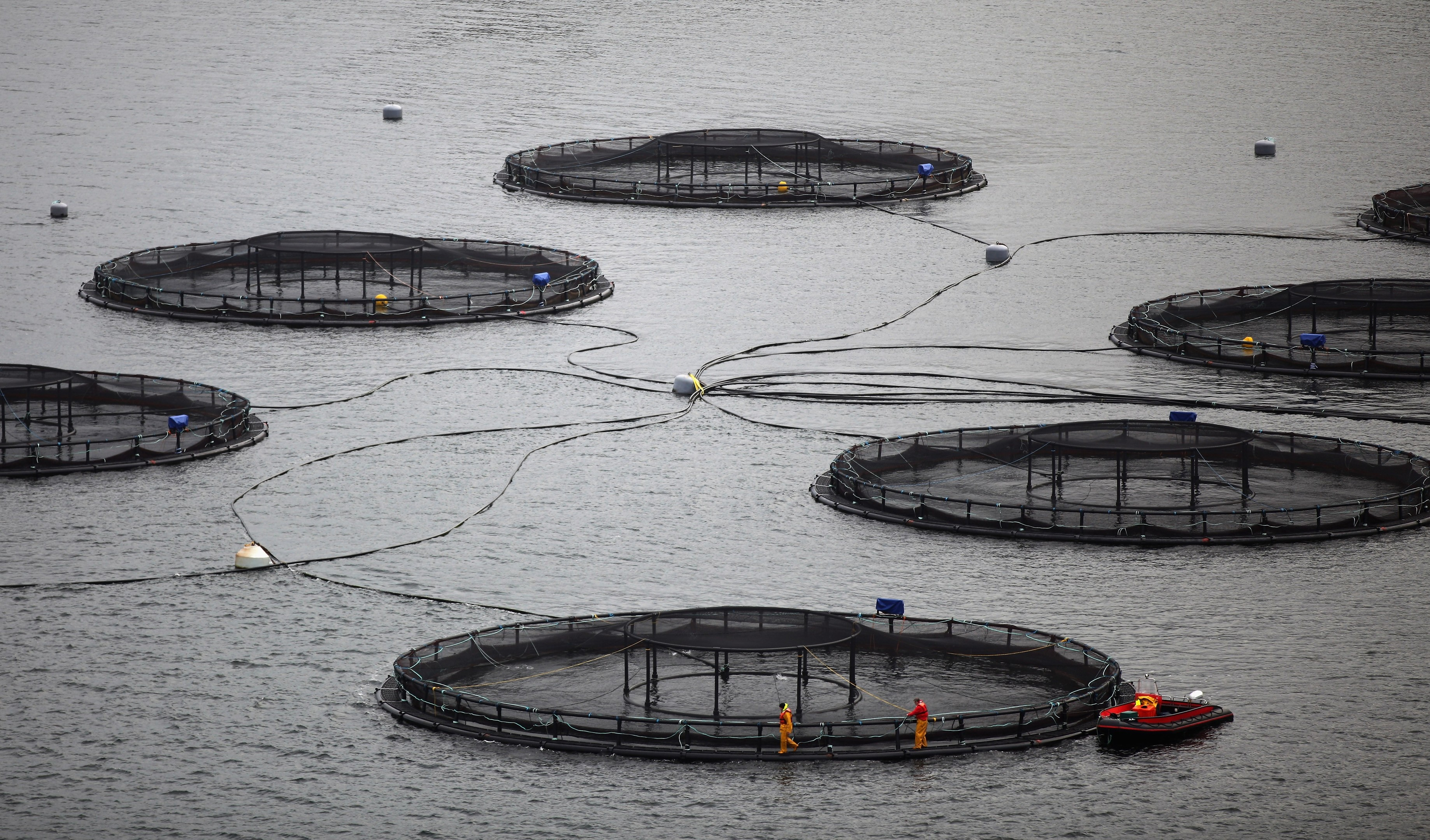 Stocks at Lismore salmon farm. Picture by Jeff J Mitchell/Getty Images