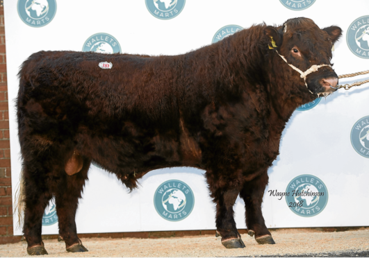 Luing bulls sold to 8,500gn at Castle Douglas when Luing Viking from the Cadzow Brothers' unit on the island of Luing was bought by Floors Farming, Rawburn Farms, Longformacus.
