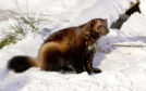 A Wolverine in the snow at the Highland Wildlife Park, Kingussie. Wolverine pair Tina and Xale have been enjoying the thick layer of snow which has fallen at RZSS Highland Wildlife Park.   The duo were introduced in 2015 and soon became parents to the first wolverine kits to be born and reared in Scotland and only the third litter in the UK.