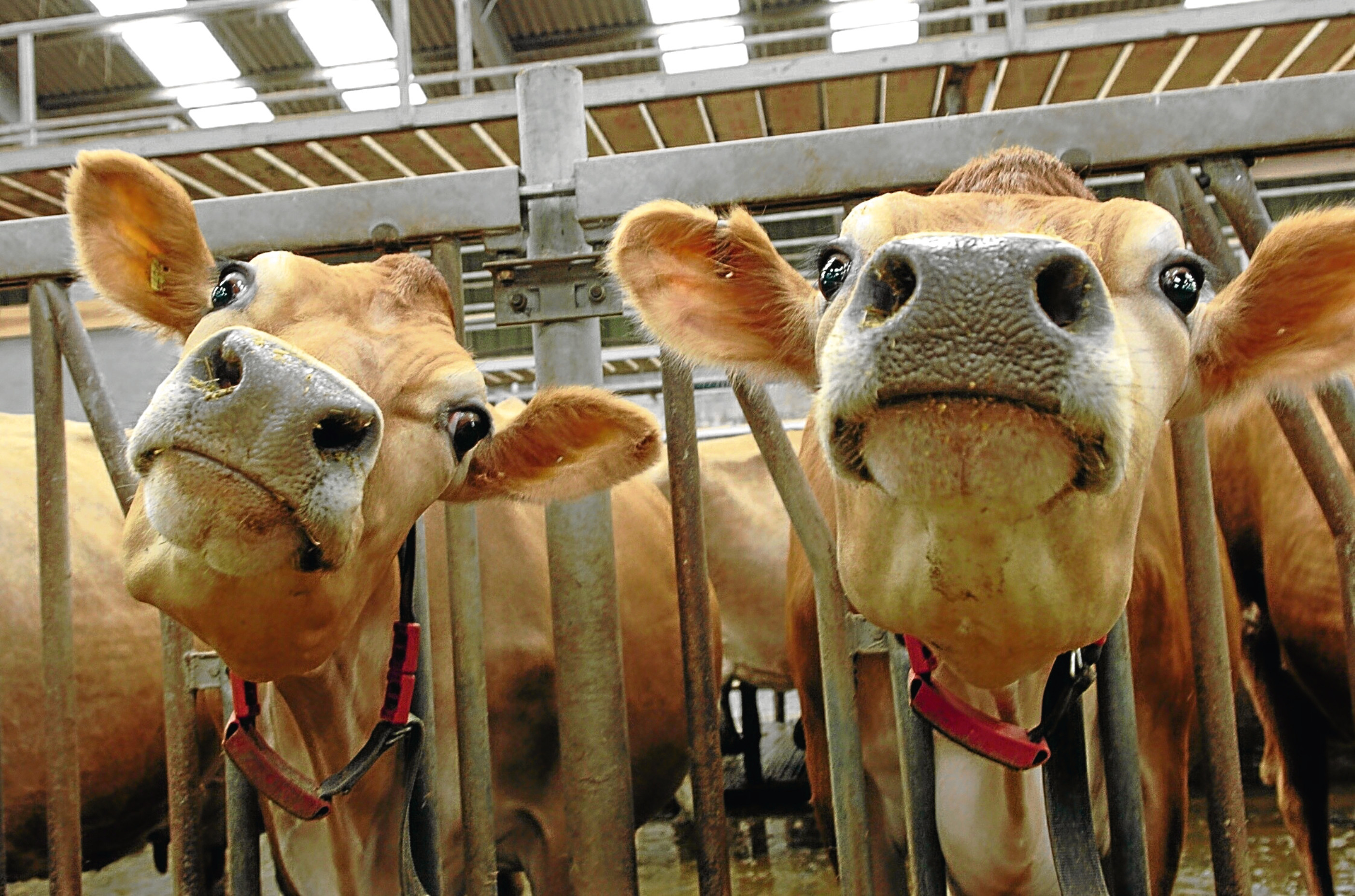 Devenick Dairy hopes to raise £15,000 to buy 10 new Jersey cows.
