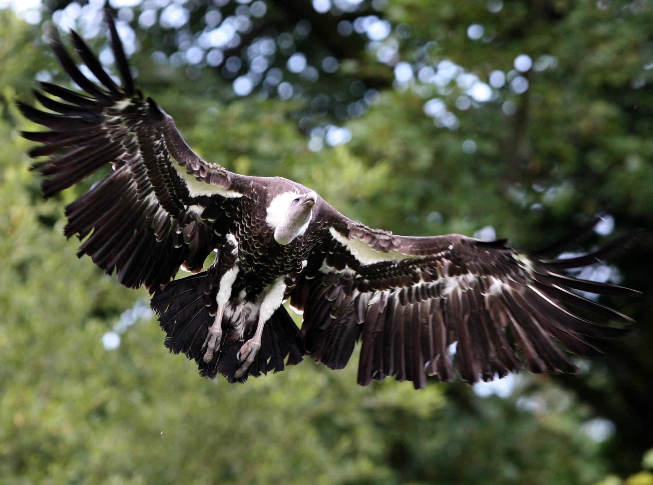 Alex the Vulture takes to the skies at Blair Drummond Safari and Adventure Park in Stirlingshire.
