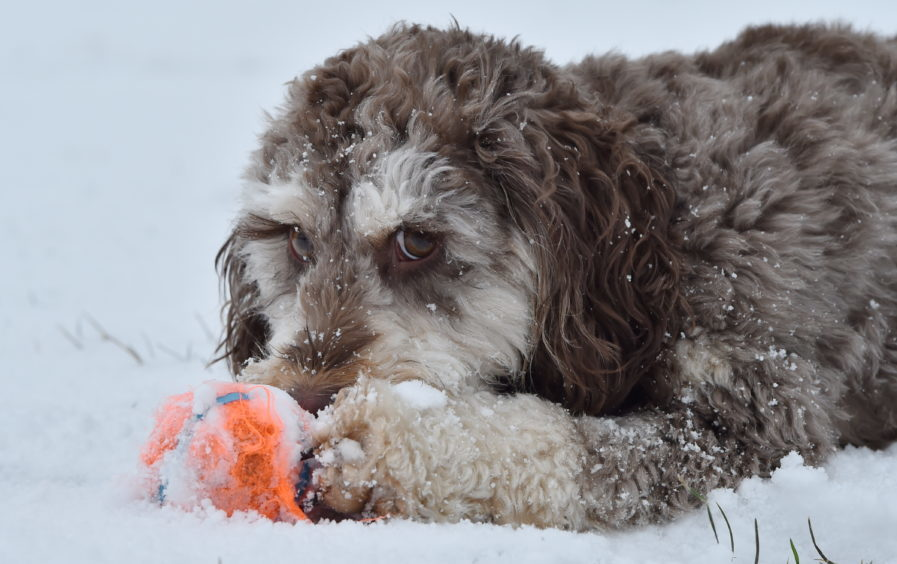 Weather snow 'The Beast from the East'.Picture of Farah the Cockapoo at Duthie Park.