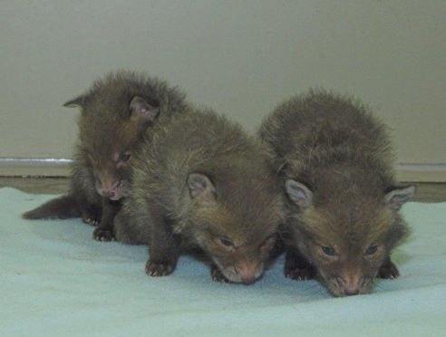 Three fox cubs who were found under rubble by a building site worker in Edinburgh.