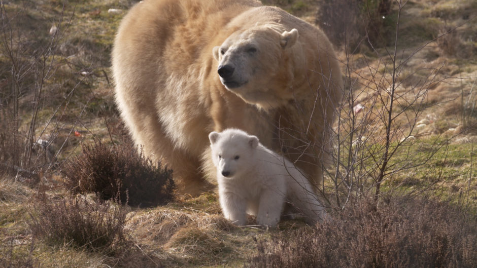 Images released but RZSS Highland Wildlife Park of Victoria the polar bear's new cub seen in their outdoor enclosure at Highland Wildlife Park.