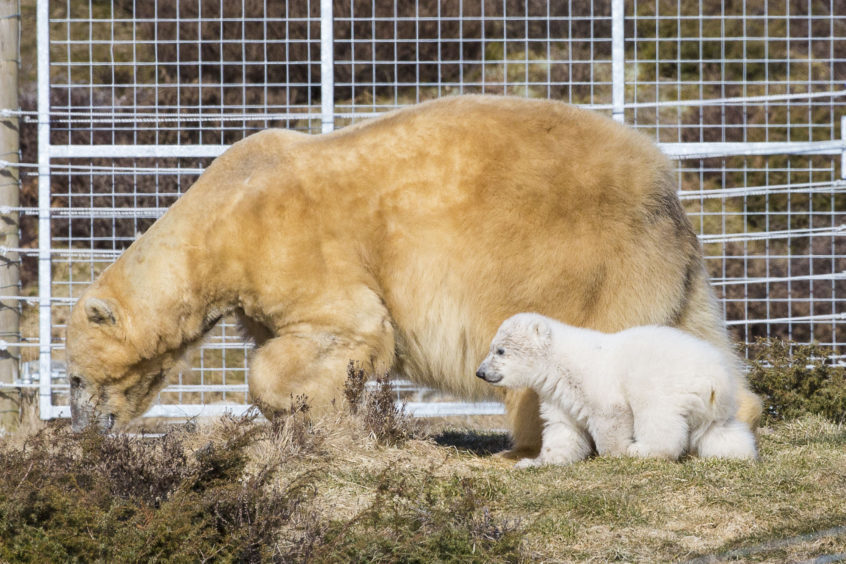 Victoria the polar bear and Hamish were seen in their outdoor enclosure at Highland Wildlife Park for the first time last year.