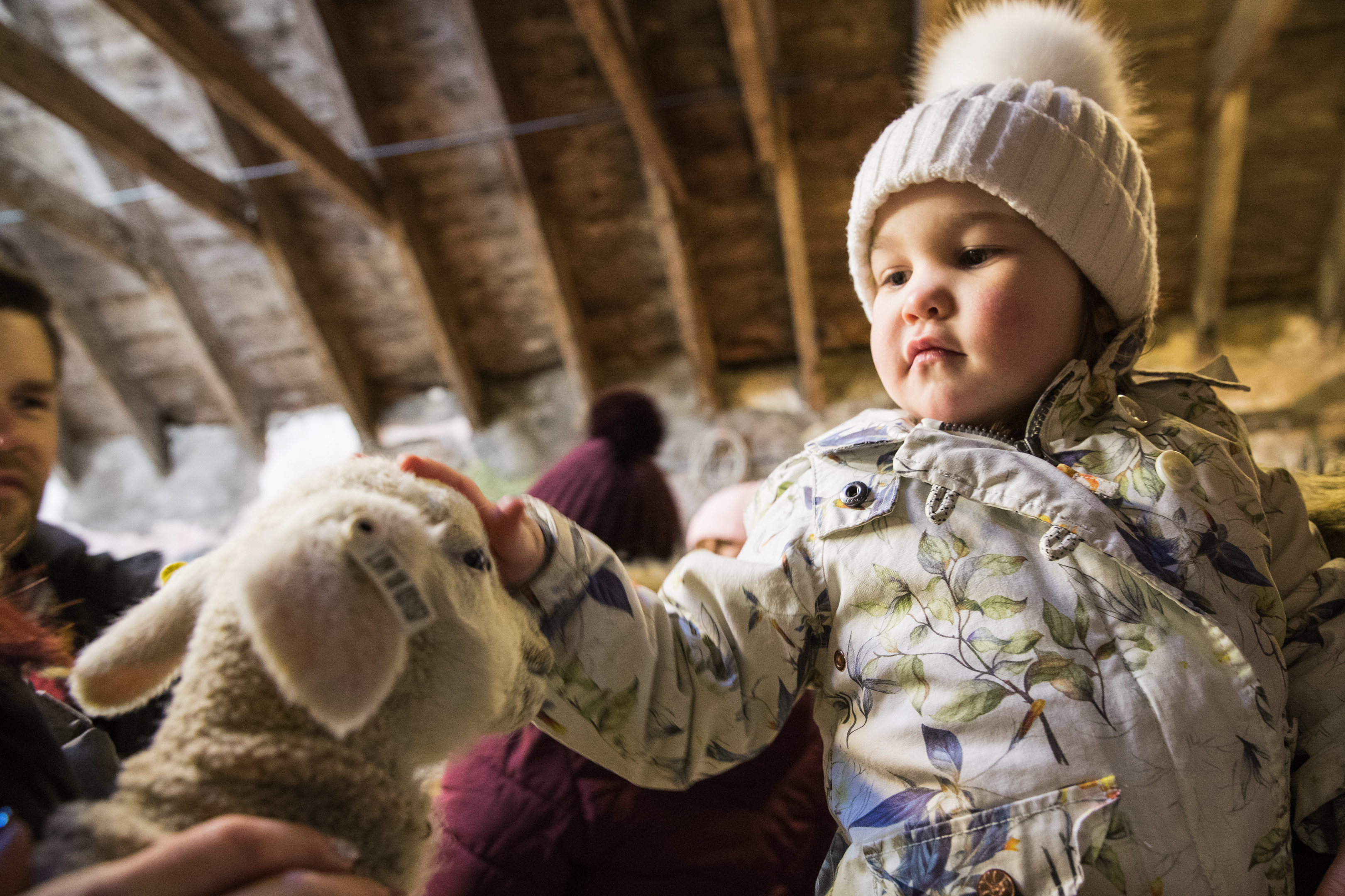Lexi Cheyne, 3, from Banff meets her first lamb.
