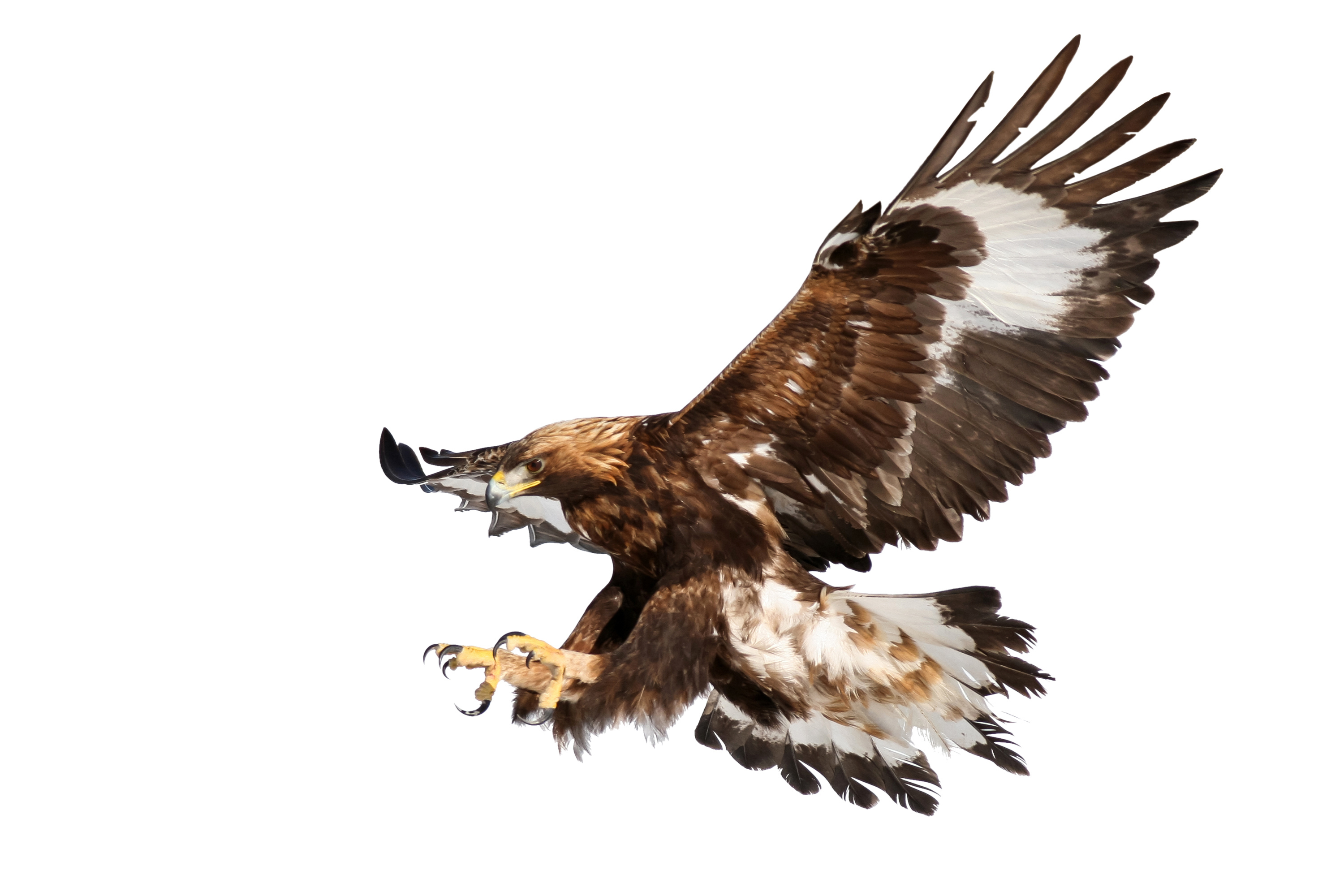 Golden eagle, raptor, isolated on white, landing with outstretched claws ready to grab pray.