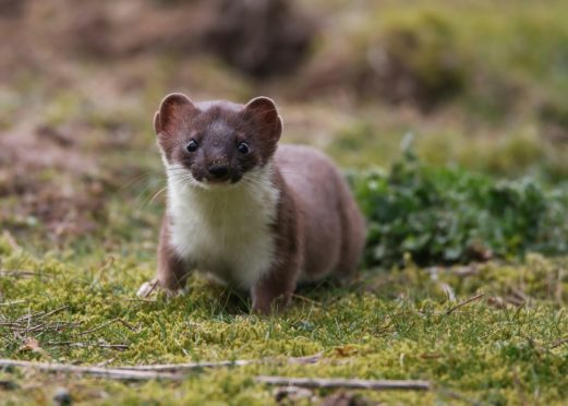 A cull aims to protect the island's wildlife for future generations – with Orkney's nature highlighted as one of main attractions for visiting tourists, who generate over £30 million a year to the local economy.