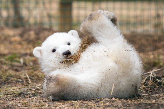 The cub will be named Poulsen, MacKinnon, Artor or Hamish. Photo by RZSS/Siân Addison