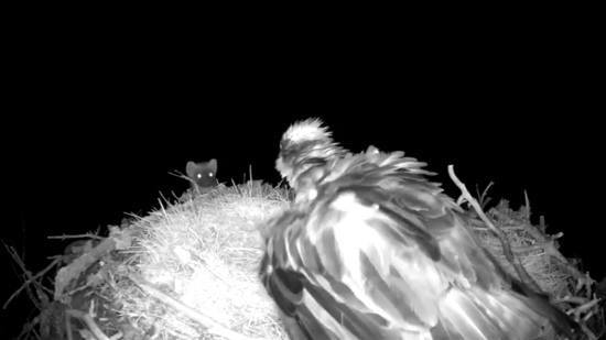 The opportunist pine marten comes face to face with EJ, a 21-year-old female osprey.  Photo by: RSPB Loch Garten