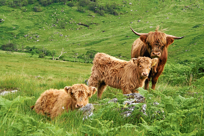 Quality Meet Scotland - File Pic of Sheep