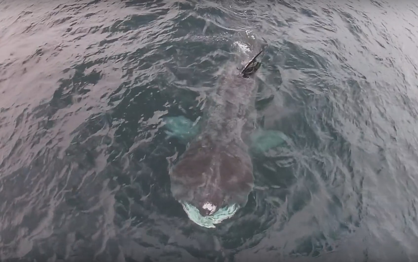 The three giant basking sharks have paid a visit to the Isle of Mull early this year