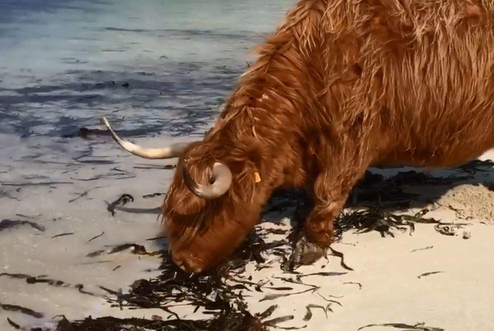 This Highland cow took a trip down toClachtoll beach.