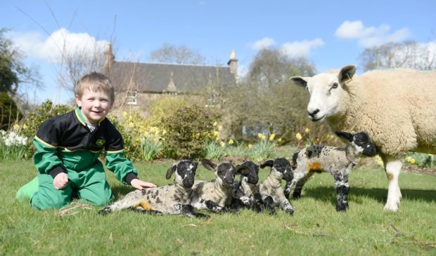 Jamie Baldie-Lean (4) gives a helping hand to a cross Texel ewe who has produced a set of five lambs at Newton of Budgate, Cawdor. Picture by Sandy McCook