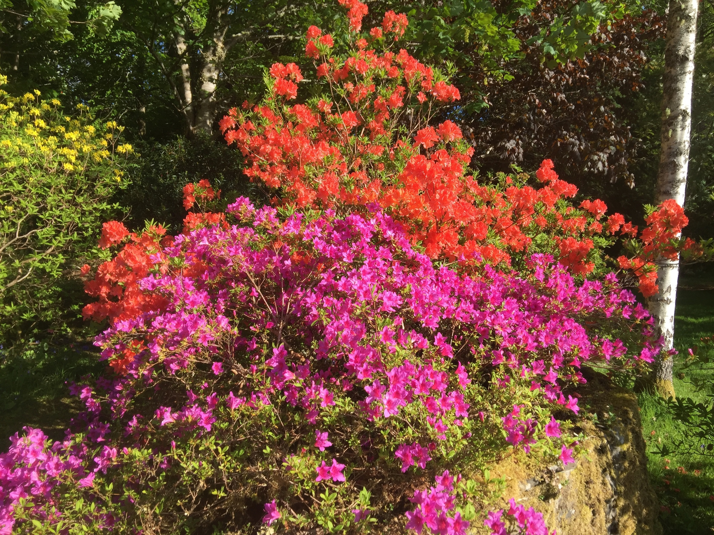 Rhododendrons  can blossom from February until August.