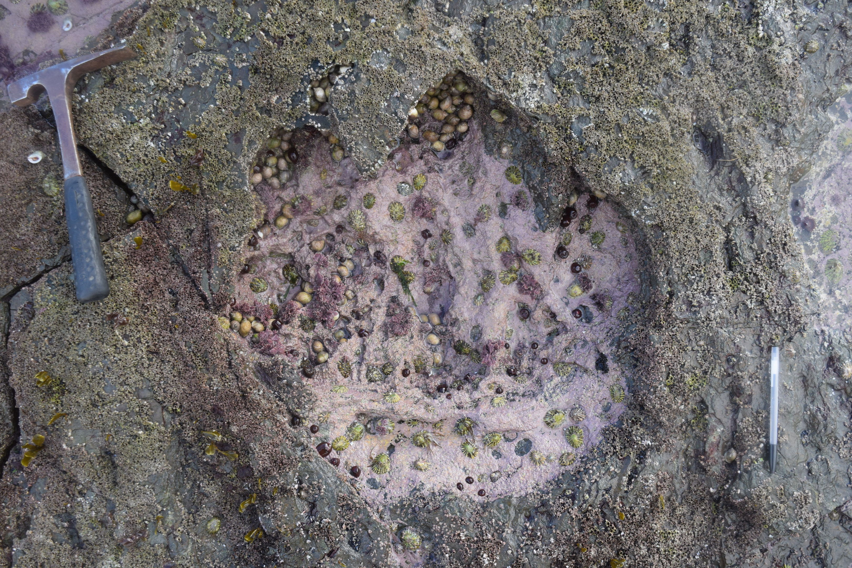 Photo of a footprint made by sauropod dinosaur, found on the Isle of Syke in Scotland.