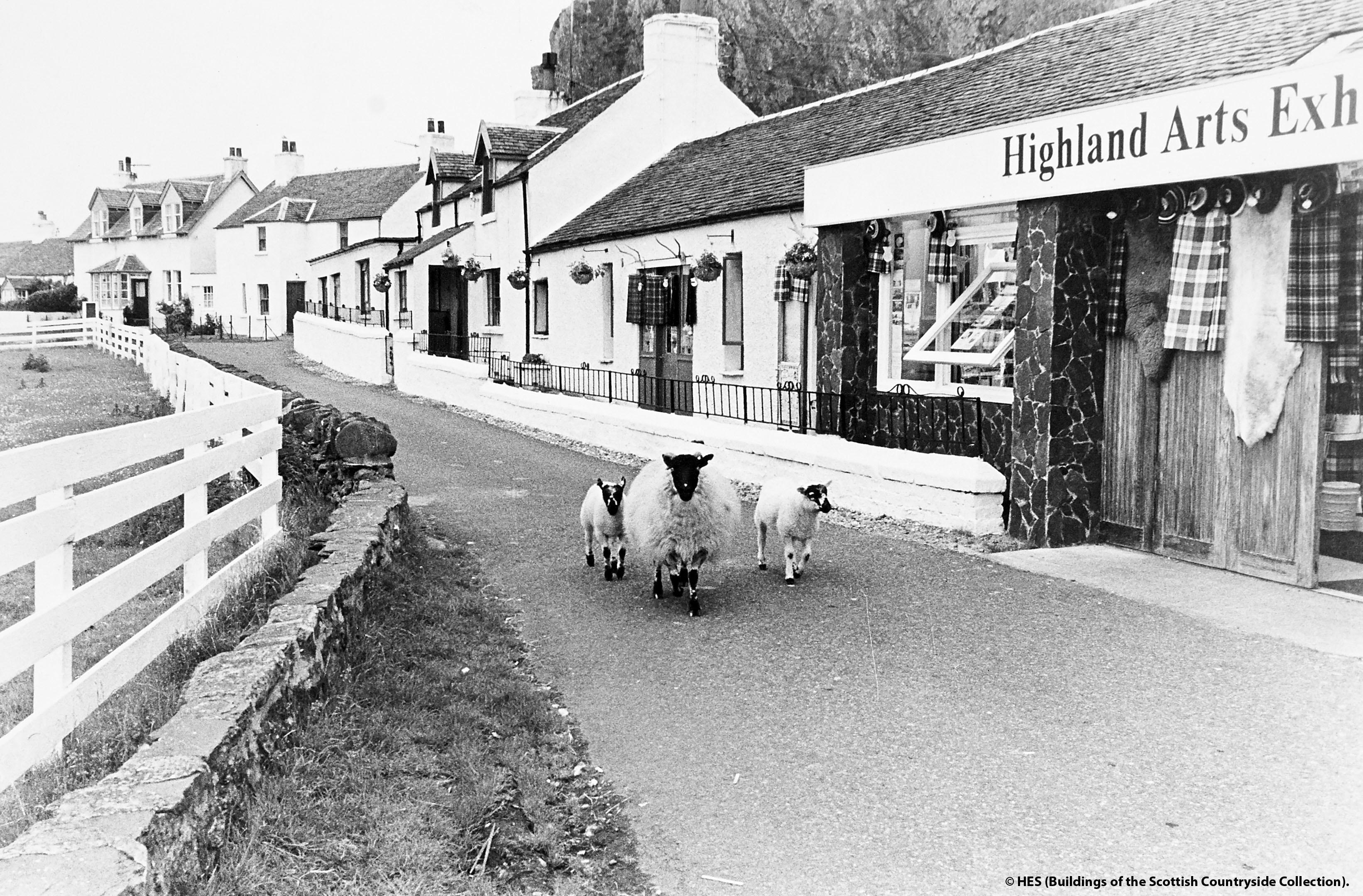 Sheep in Oban