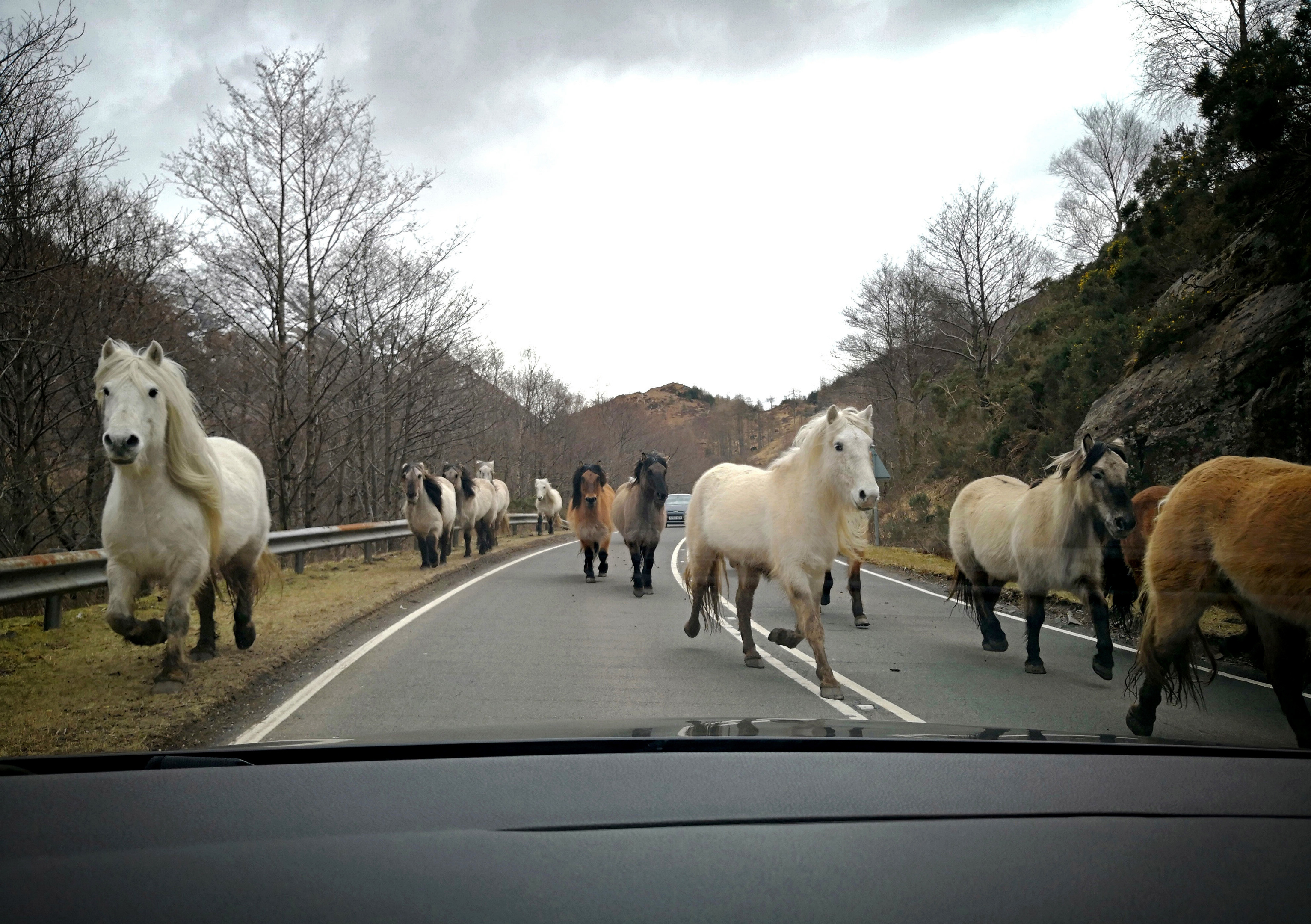 Wild horses running on the road between Kyle of Lochalsh and Dundreggan near the Isle of Skye.