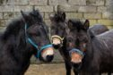 Gill Hamilton has taken in three mules who have awfully overgrown and twisted hooves due to lack of care. A farrier and vet will be attempting to fix the twisted hooves in the hope of saving the mules. Pictured are the mules, from left is Indie, Maisie and Oscar.