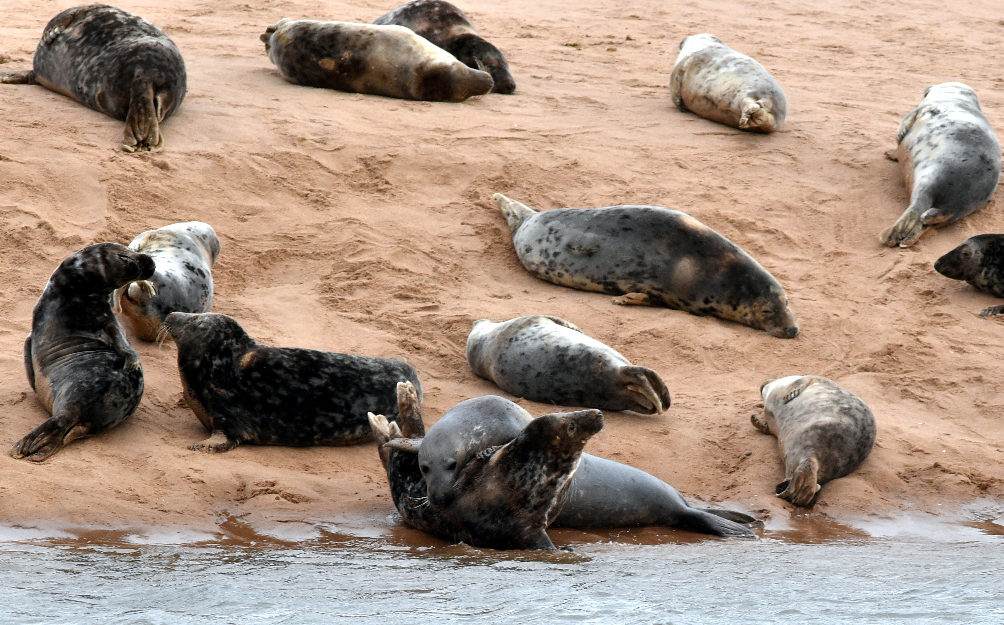 Seals relaxing at Newburgh beach. Picture by Colin Rennie.