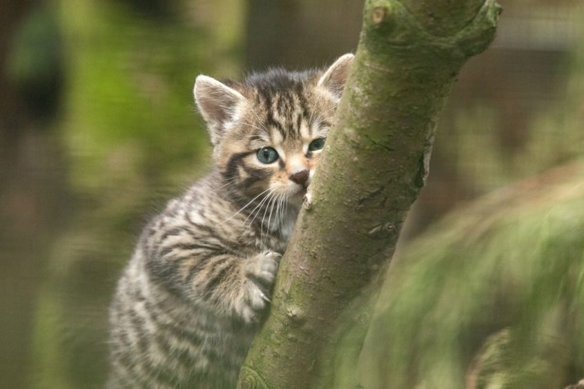 A wildcat kitten.