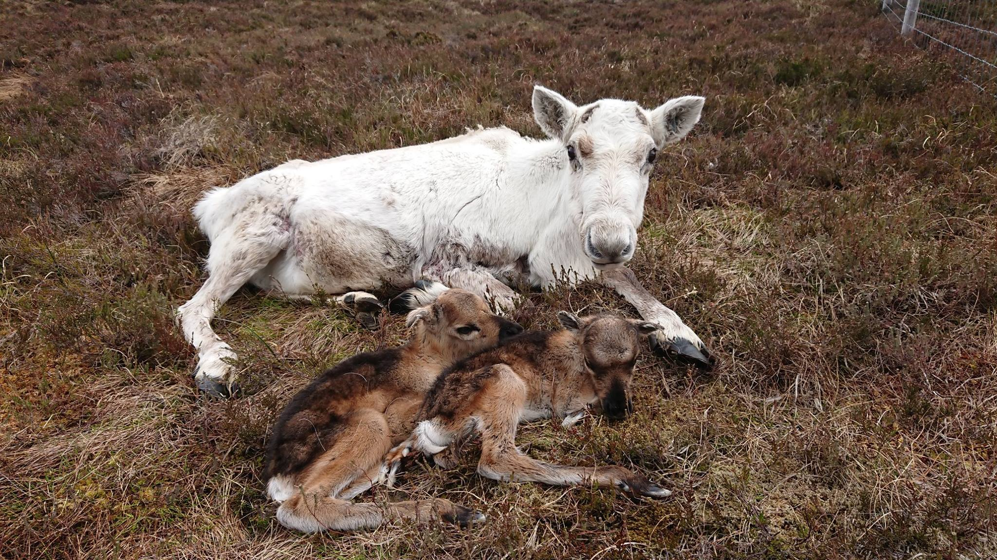 The two calves were born at the Cairngorms Reindeer Centre