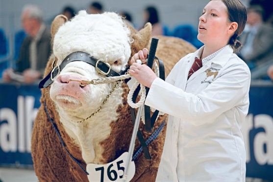 Heather Duff from Pitmudie Farm, Brechin, seen with her Simmental bull Pitmudie Highlander in the judging ring.