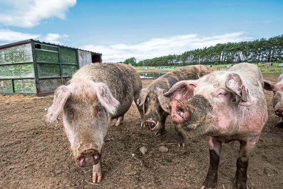 Pig producers were told to tell their high welfare story