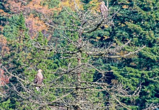 Sea eagle goes missing near River Dee