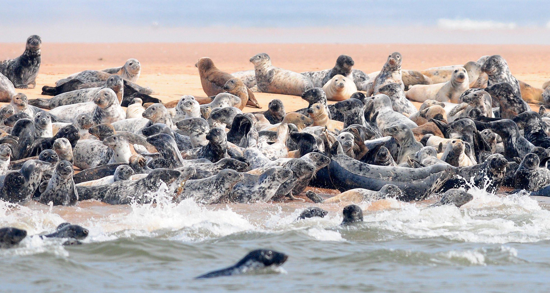 Seals at the Ythan Estuary close to Newburgh