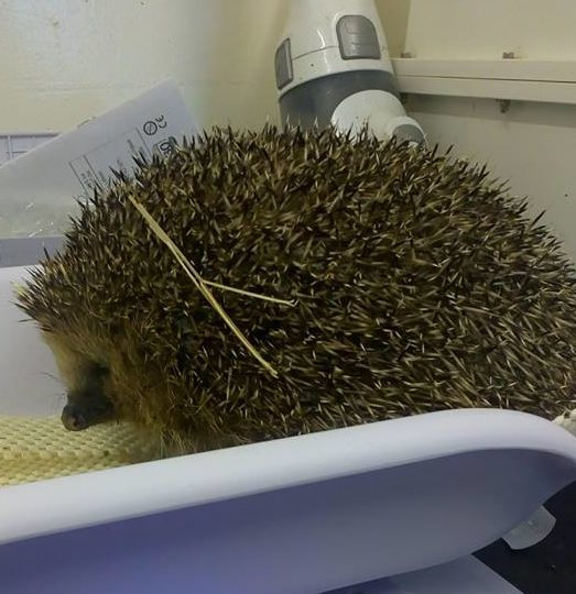 Arbuckle the fat hedgehog
