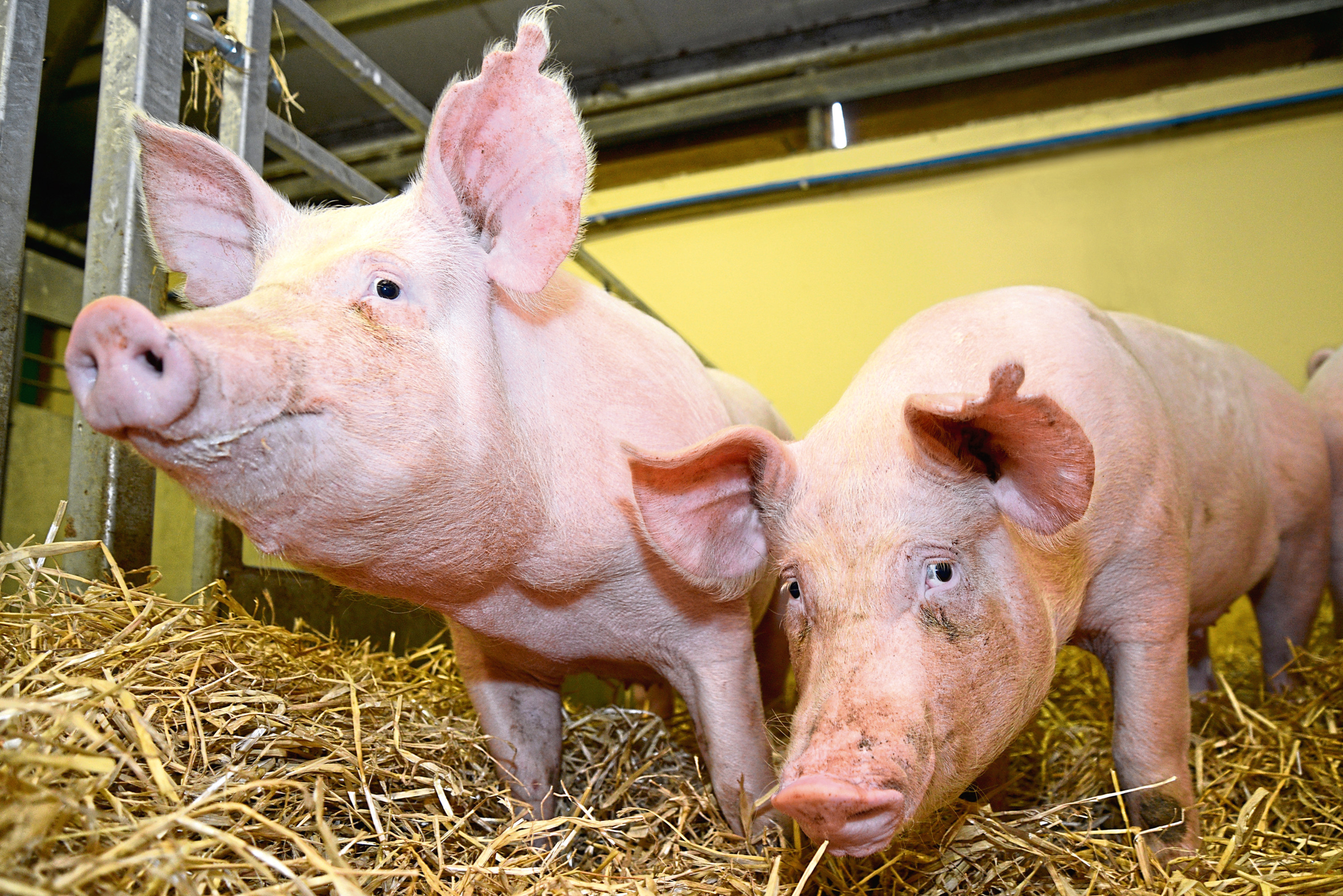 Pigs developed with the use of gene editing were resistant to PRRS and showed no adverse effects during the trials, according to researchers