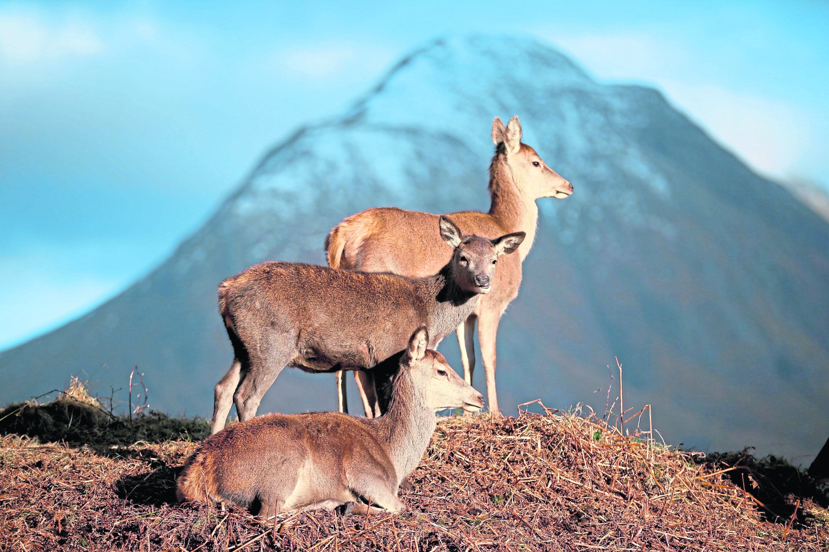 Red deer graze in Glen Etive in the Scottish Highlands.