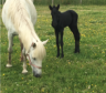 New foal welcomed by the Scottish SPCA.