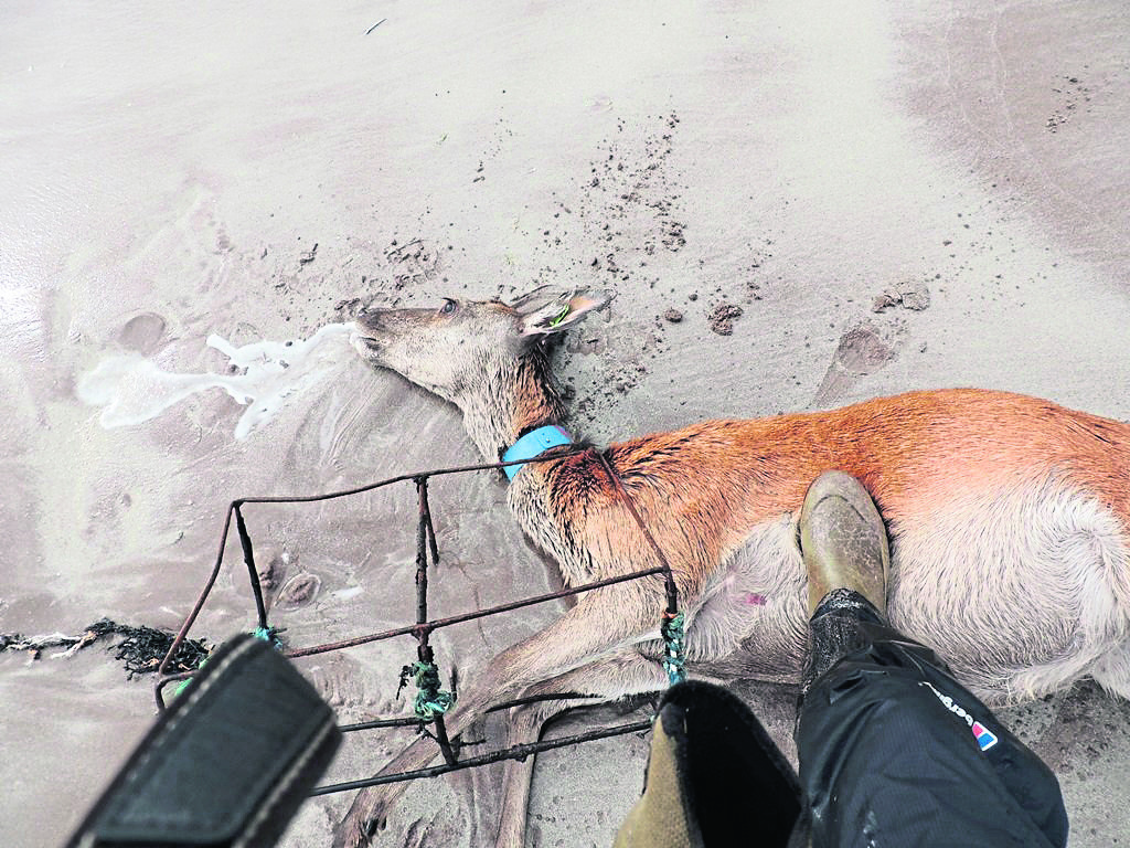 The three-year-old hind, known to the Rum Deer Research project as Henna, is the latest casualty among the island's herd to marine pollution.