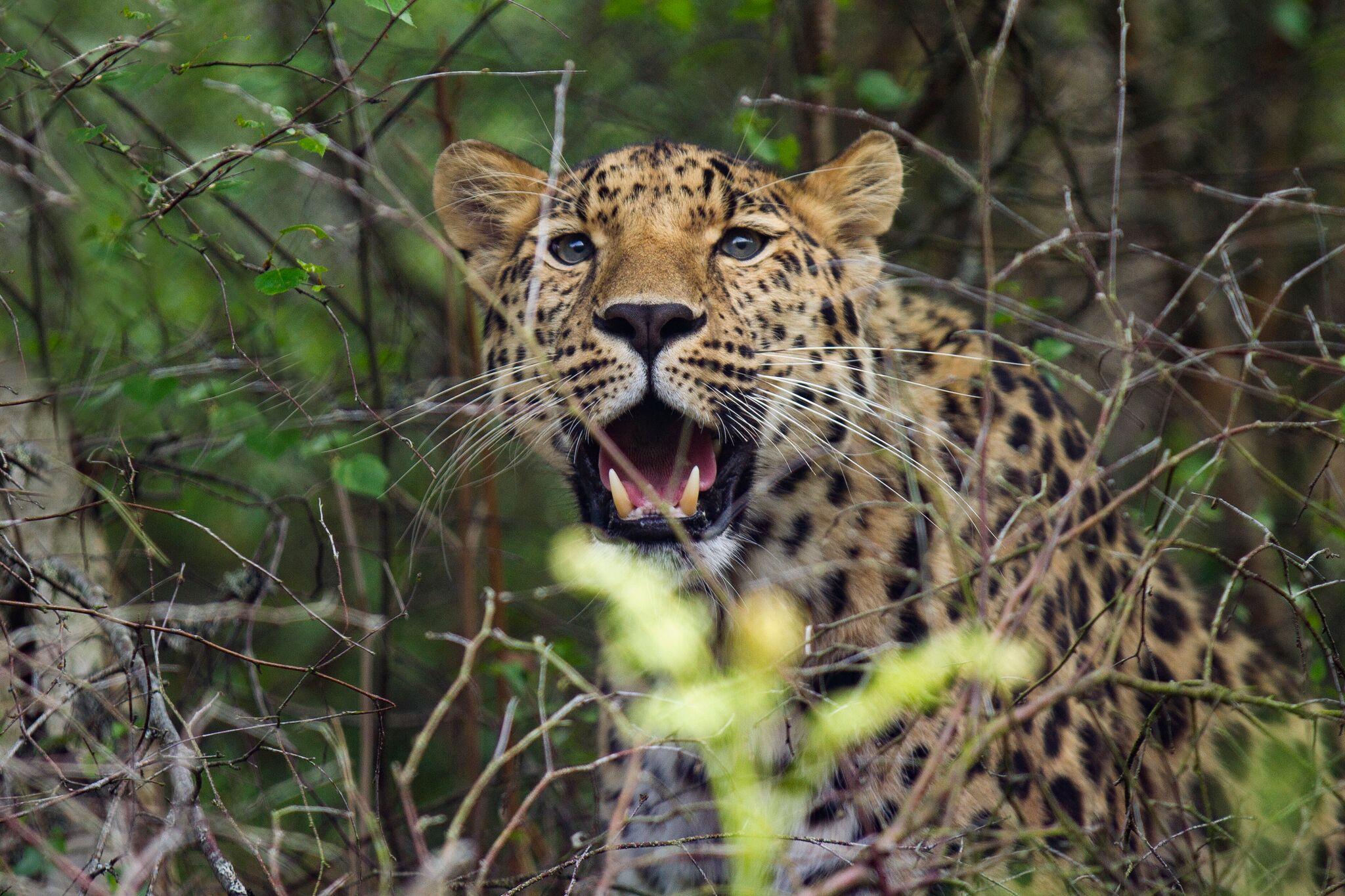 Freddo is an amur leopard. Photo by RZSS