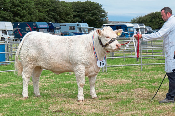 Charolais heifer Olrig Minny was show champion of champions.