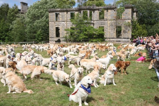 Golden Retriever dogs which gathered at Guisachan